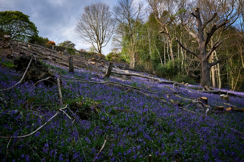 It's British Bluebell Season again. This rare woodland plant emerges for only a few week...