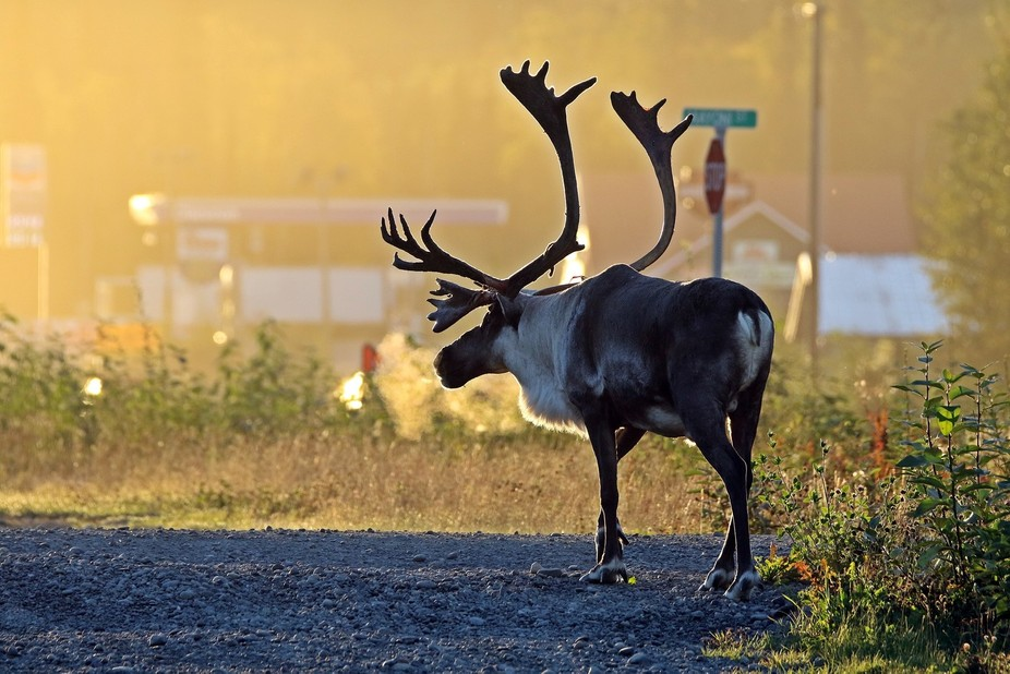 Alaska early morning walk caribou by side of road