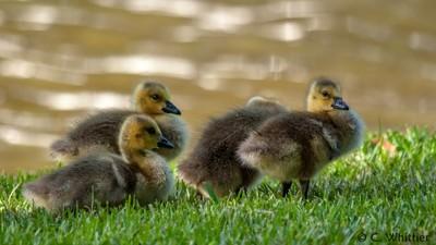 Gorgeous Goslings
