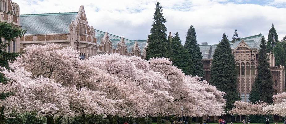 Mount Fuji Cherry Trees in full bloom, University of Washington, March 2017