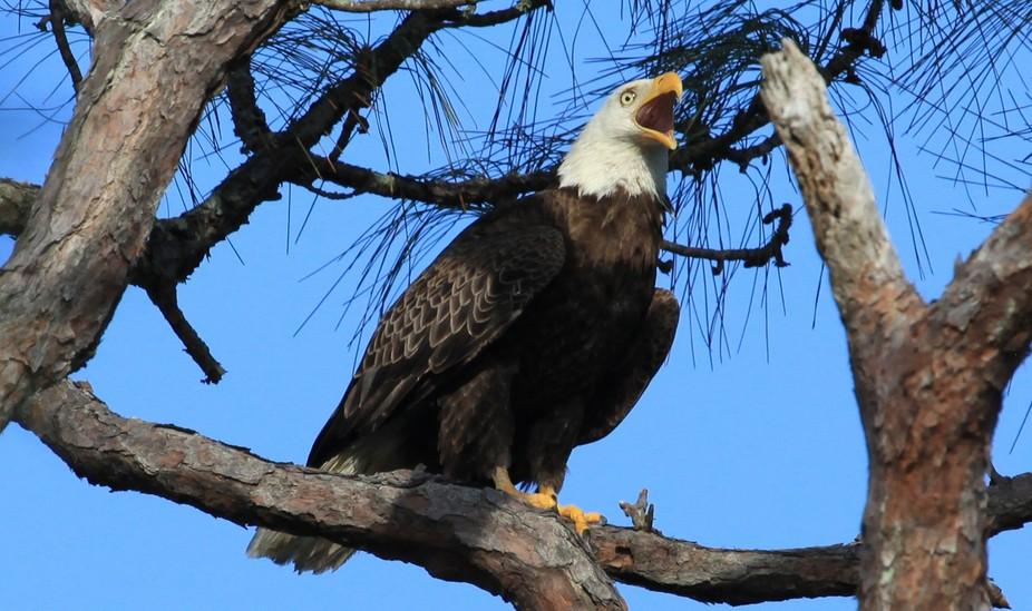 Eagle yelling