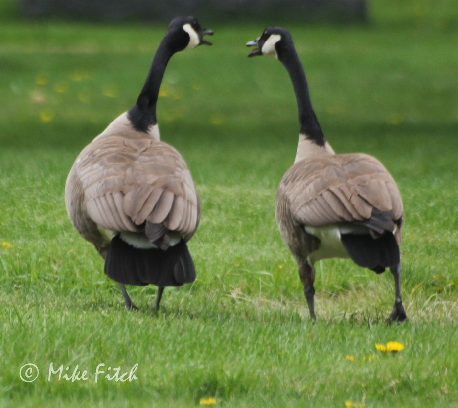 taken at a cemetery, the geese seems to be chatting as they walk