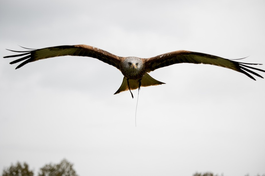 Low Flying Red Kite
