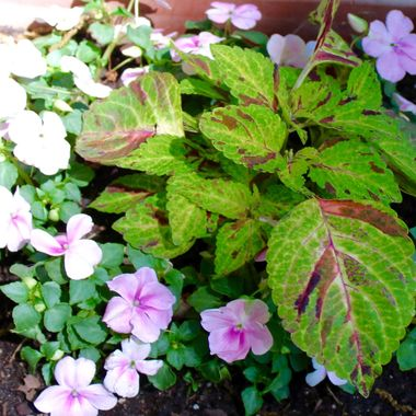 IMG_0882 Coleus and Impatiens