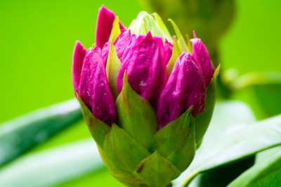 Rainy Rhododendron