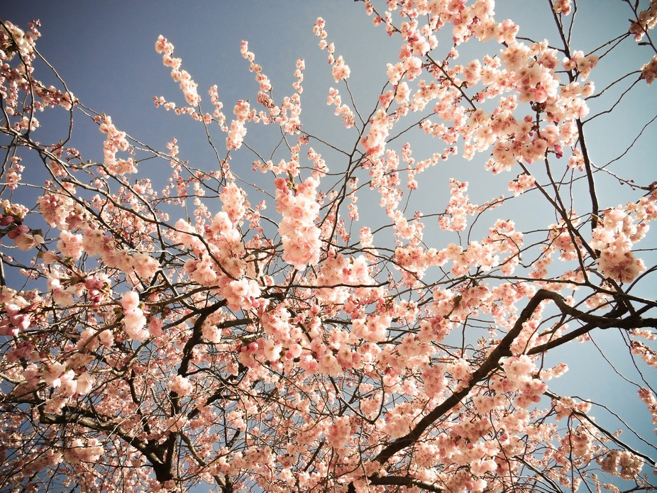 Cherry-blossom trees are so delicate and soft and sweet to watch, but tricky to photograph.. it&a...