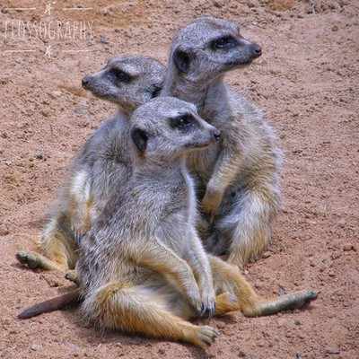Who doesn't love meerkats?? #meerkats #meerkatsofinstagram #zoo #australiagram #focusaustralia #ig_discover_australia #australia_shotz #ig_down_under #ig_creativephotography #instalike #ig_aussiepix #1more_australia #australiacolors #perthzoo #discov