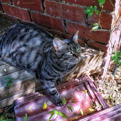 Biscuit (the cat) #tabbycat #cat #catsofinstagram #fatcat #shadow #bricks #tiles #discovertasmania #tasmaniagram #hobartandbeyond #instatassie #tassiepics #tassie #hobart #southerntasmania  #tassiestyle #australiagram #focusaustralia #ig_discover_australi