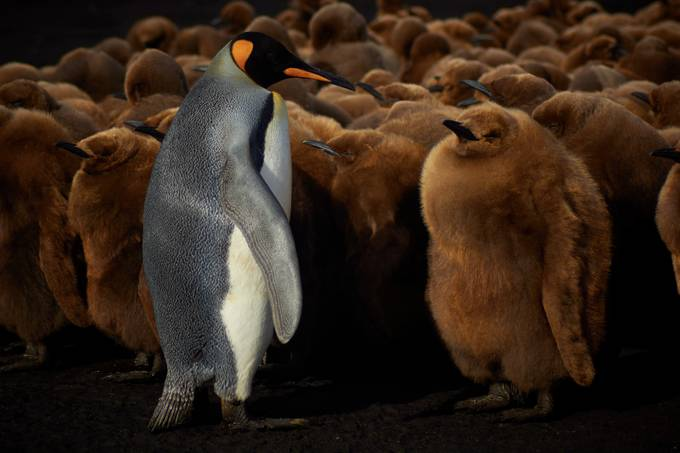 king penguins of volunteer point by jamieedwardcorsby - Wildlife Photo Contest 2017