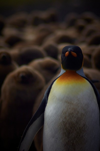king penguins of volunteer point