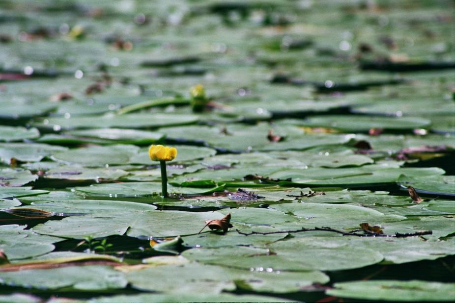 Color-negative lotus on river