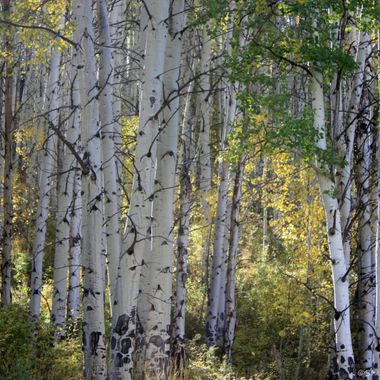 Aspens in fall in Colorado