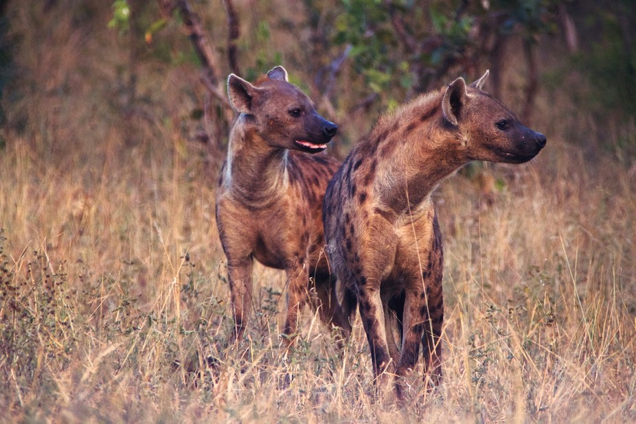 Two beautiful hyenas waiting on a clearance to get a late afternoon drink.