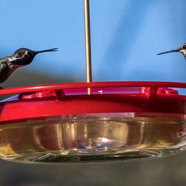 A hummingbird confrontation over territory.