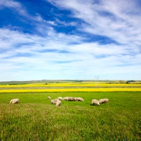 A heard of Southdowns grazing in a pasture in rural Alberta against the bright canola crops in the background