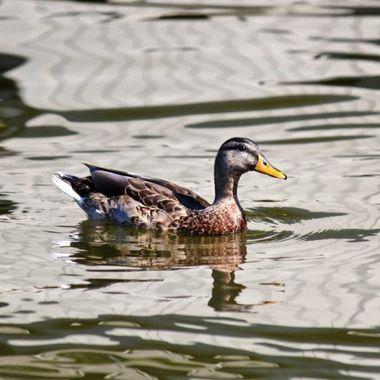 Duck Reflections III copy