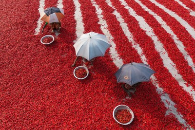 Collecting Red Chillies