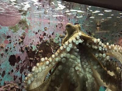 Octopus - Dubrovnik