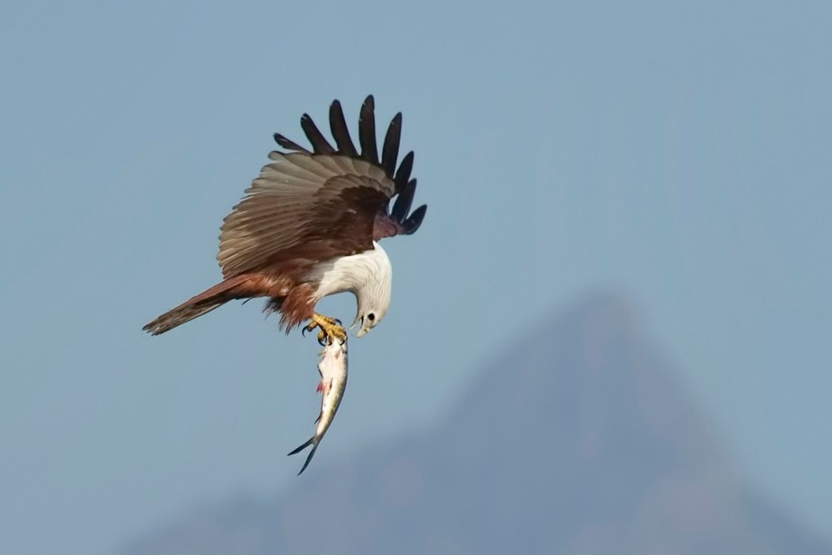 Brahminy Kite bird catching the fish from lake. And it  went up to to 20 mtrs height .It eat the ...