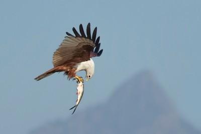 8808 Brahminy Kite with Fish