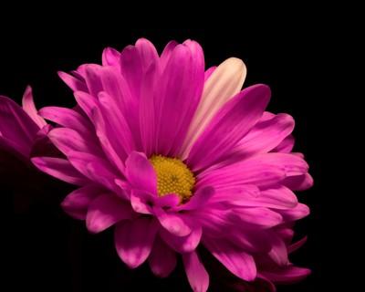 Smooth Pink Daisy 0414