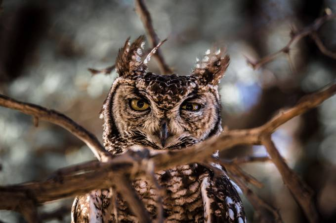 Grumpy ! by zistos - Only Owls Photo Contest