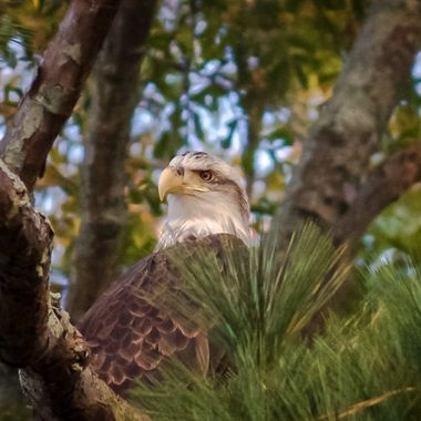 I photograph on a island that is full of Juvenile eagles ...this one is about to reach maturity