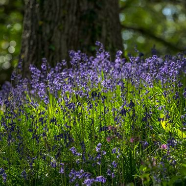 Bluebells at Bodnant Gardens