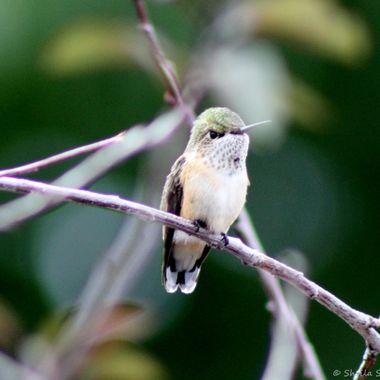 Curious humming bird