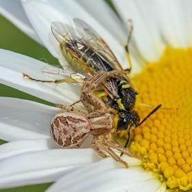 Crab Spider and Sawfly