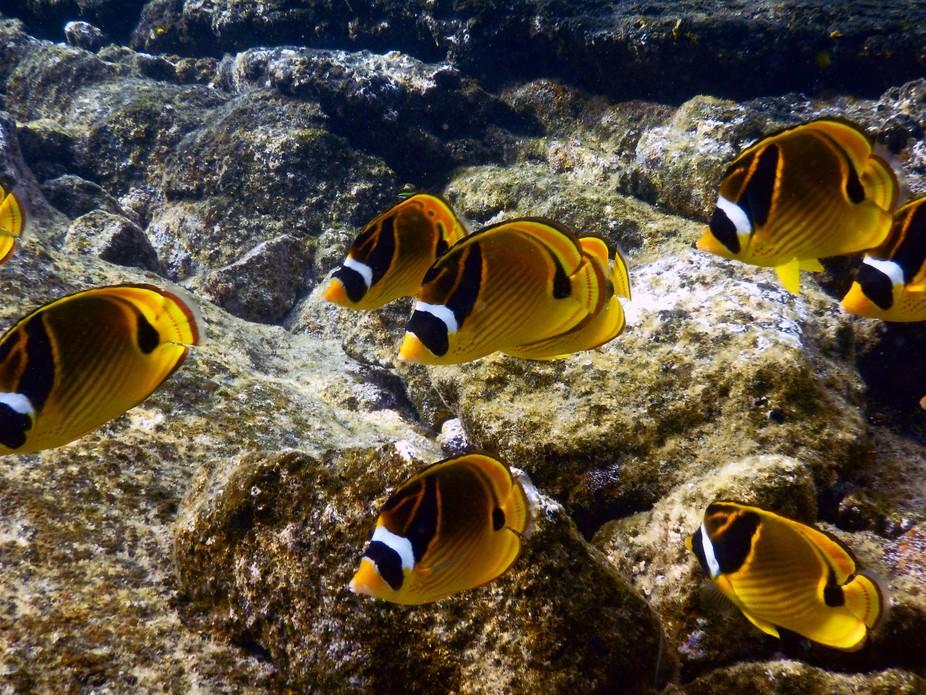 Racoon Butterflyfish, Chaetodon lunula, Wai'opae tidepools, Hawaii