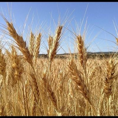 Great to meet the locals #greatoutdoors #wheat #westernaustralia #wheatbelt #australia  #ravensthorperanges #blueskies #wheatfarmers #farmer #landscape #farm #farmers #aussiefarmers #farmlife #wheatharvest #harvest #harvesting #blueskies #thisiswa #ravey