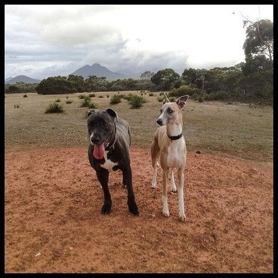 Stretching our legs on the drive from Albany to Hopetoun. Stirling ranges in the background. #hopey #whippet #whippets #whippetlove #whippetlovers #barkhappy #dogsofinsta #whippetcorner #whippetsofinstagram #sighthounds #whippet_lovers  #greatoutdoors #do