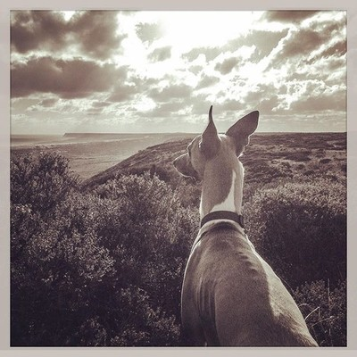 Oscar loves exploring new places he loves to be taken on adventures. #whippet #whippets #whippetworld #whippetoftheday #whippetcorner #whippetlovers #whippetlove #whippetlover #whippetlife #whippetsofinstagram #whippet_feature #whippetsofig #barkhappy #hi