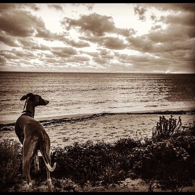 Oscar loves living by the sea, long walks along the beach and beautiful sunsets. #sunset #sunsets #whippet #whippets #whippetlove #dogsofinsta #dogsofintagram #whippetcorner #whippetsofinstagram #whippetlife #whippetoftheday #whippetofinstagram #dogsthath