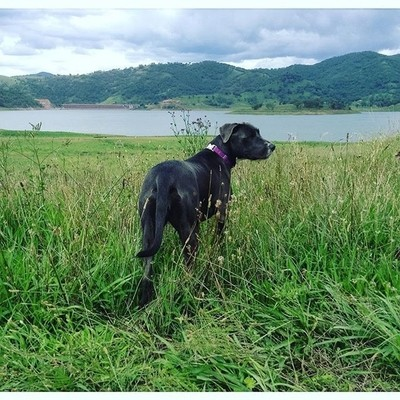 Maggy loves to stretch her legs and go exploring. #dogsofinsta #dogsofinstaworld #dogs #dogsofinstagram #barkhappy #nsw #chaffeydam #australia #greatoutdoors #exploreaustralia #welove_mountain #maggymay #dogsexplore #hikingdogs #hikingdogsofinsta #hikingd