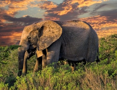 Two Elephants at Sunset in South Africa