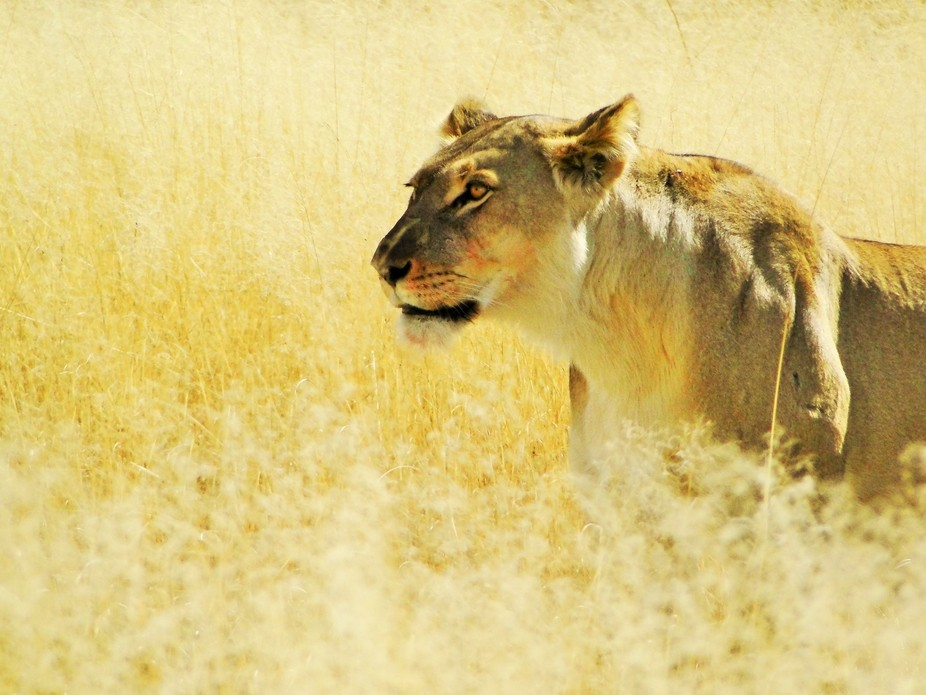 I took this picture of a lioness slowly walking through tall grass in South Africa's Kga...
