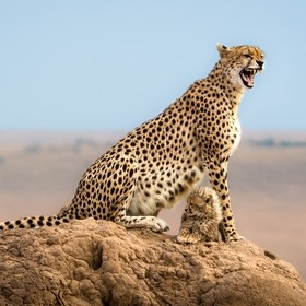 This is a pretty cool shot of a cheetah called Malaika, who here seems to be snarling and protecting her two cubs. I'll share two secrets wi...