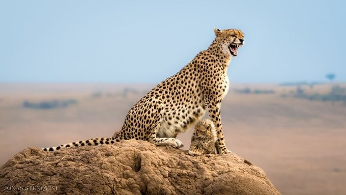 Capturing Cheetahs: Learn The Story Behind This Shot