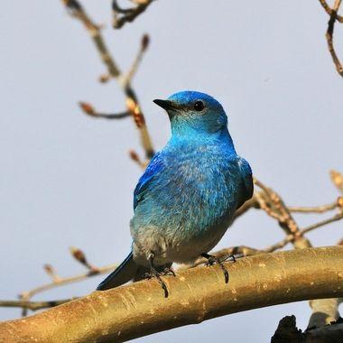 Mountain bluebird IMG_9307
