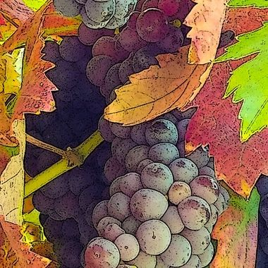 Just prior to the wine grape harvest in fall.