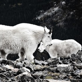 These Mountain Goats (Oreamnos americanus) are hiking up Quandary Peak with me in Colorado. The bigger one on the left stands guard in front of t...