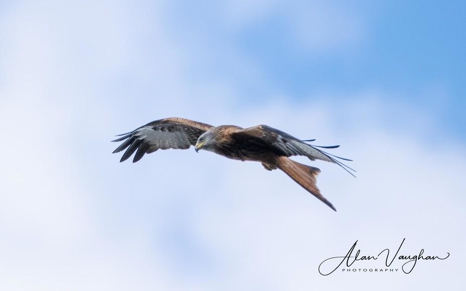 This Red Kite flying over the lake at Black Park Slough, shooting with Nikon D5300 and 150mm - 60...