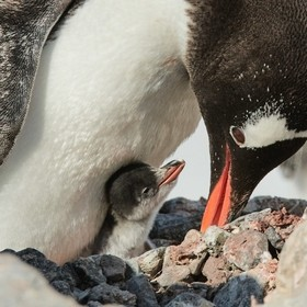 As a Gentoo Penguin chick wakes up from a nap, its parent bends over for a feeding.