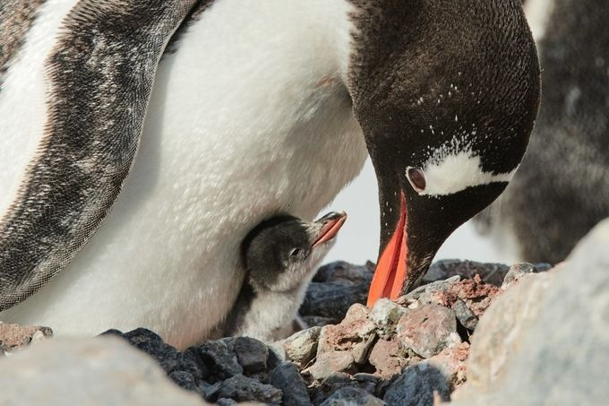 Gentoo With Chick by alanpeterson - Winter Wildlife Photo Contest