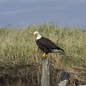 perched bald eagle at westport