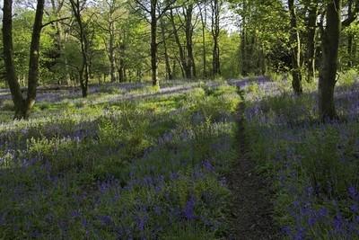 Evening walk in bluebell woods