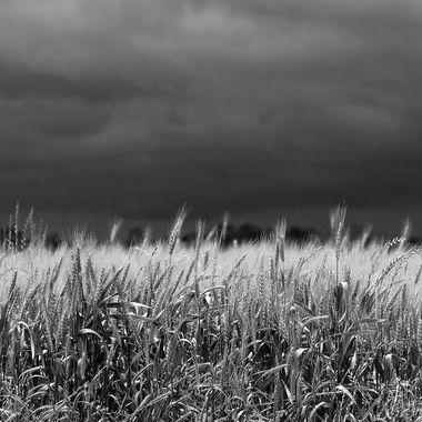 Stormy Wheat 4 BW