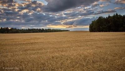 barley field...